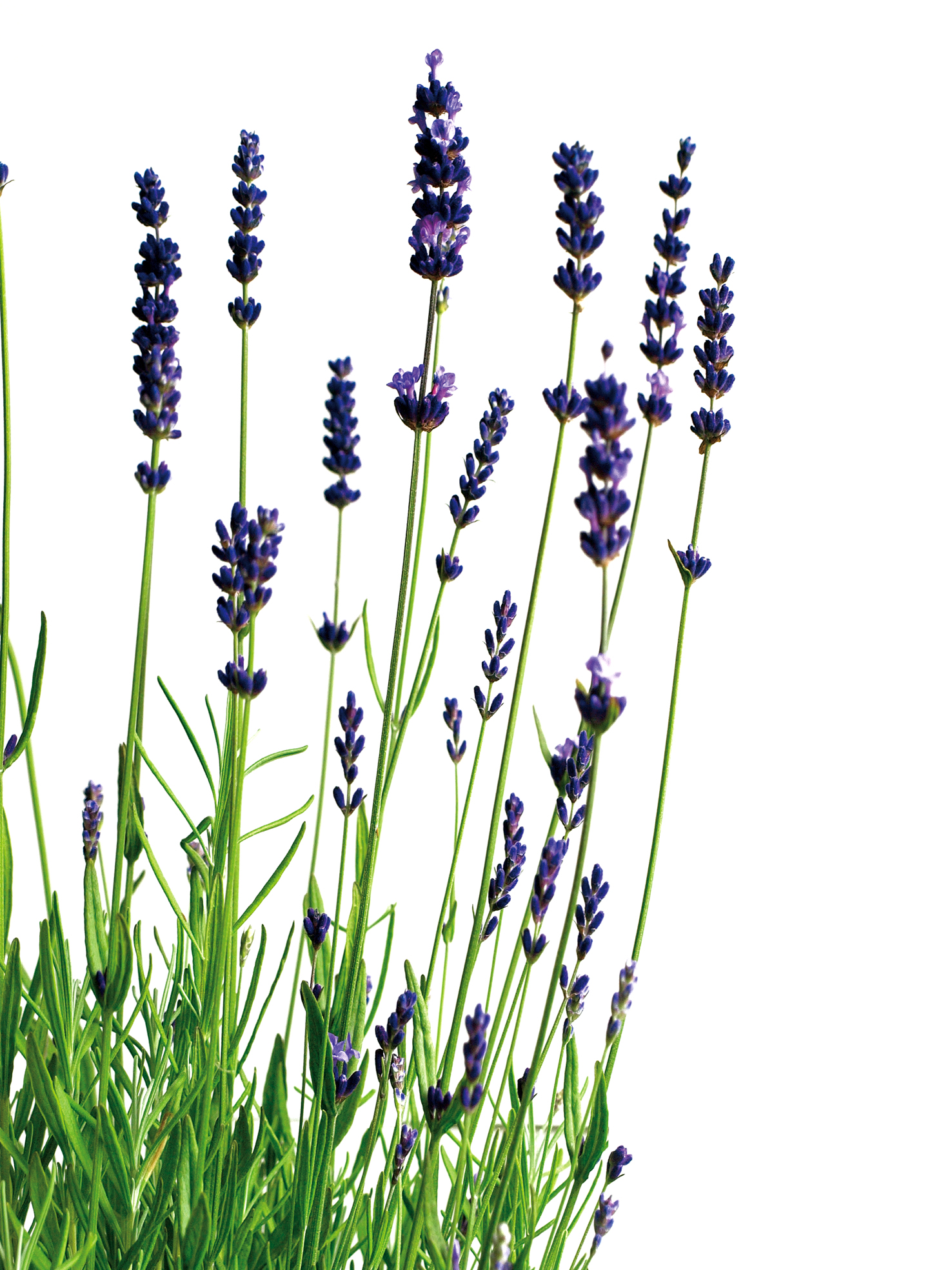 Dr Oz Lavender Cold Amp Flu Remedy Pantry Spa